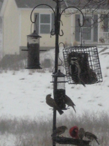 Better pix of woodpecker