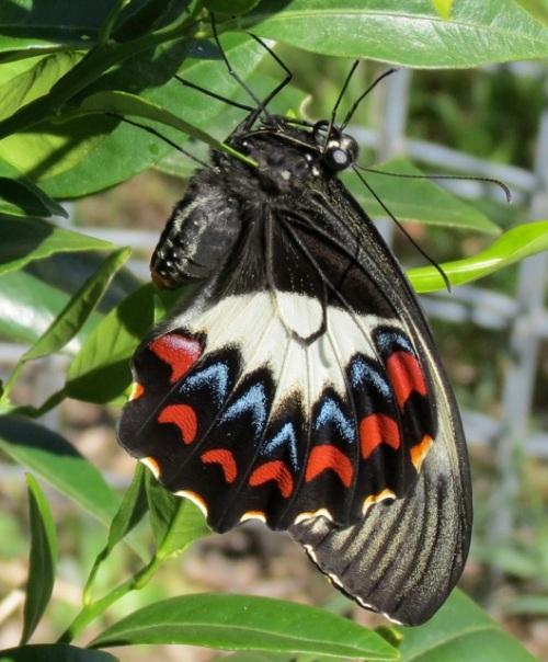 Butterfly - Whitelaw
