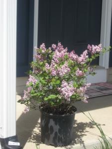Lilac Aromas