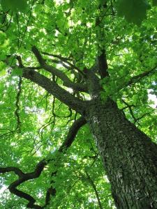 Tree - ash wood