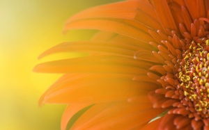 sunflower turning to sun