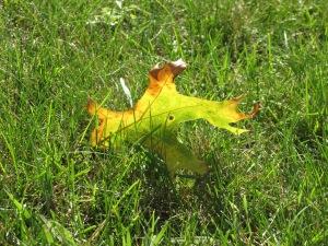 10-10-13 Fallen Leaf's shining glory
