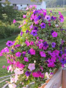 Petunias Arise and Shine