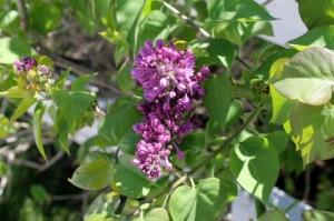 Lilacs - Brenda Horton
