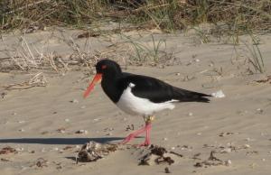 Australian bird of the sea