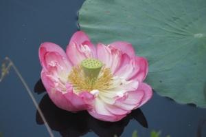 Christine's Lotus