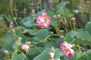 lotus pods and blooms